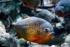 亚马孙的鱼,两千余种,住在哪里啥决定?