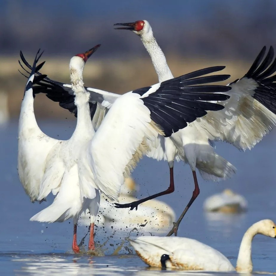 """白鹤被确定为江西省""""省鸟"""""""