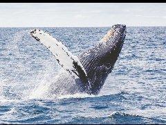 国际货币基金组织:保护鲸类有助减缓气候变