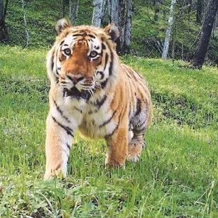 东北虎豹国家公园:虎啸山林 豹跃青川