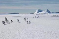 气候变暖或致帝企鹅在本世纪末灭绝