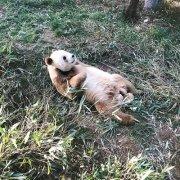 全球唯一圈养棕色大熊猫七仔被熊猫国