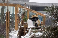 西宁立冬初雪乐坏了4只大熊猫
