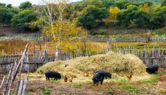 9个月生猪存栏减少1.2亿头 专家:禁养区清理不能为猪