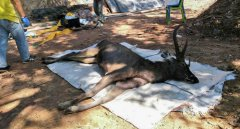 泰国10岁公鹿在国家公园内暴毙,胃里塞满塑料袋