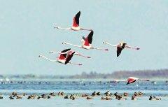 国内罕见,盐湖上飞来野生火烈鸟 连续