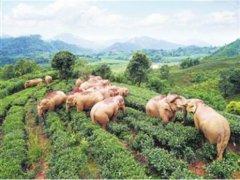 云南计划建设7500公顷亚洲象栖息地