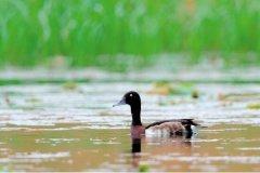 全国青头潜鸭越冬同步调查在武汉启动