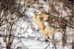 湖北神农架金丝猴达到1471只 比2005年