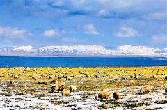 青海湖畔羚羊跃