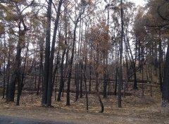 澳洲野火关键课题:找回原民治火技术、反思进逼森林的