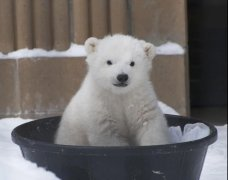 全球变暖,北极熊还好吗?