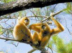 海南长臂猿的种群恢复之路