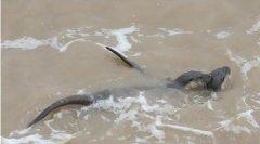 浙江韭山列岛再现国家二级保护动物欧亚水獭