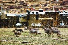 西藏坚定不移推进生态文明建设:让绿色成为