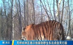 吉林省天桥岭林区首次拍摄到野生东北虎白天