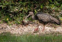 疫情期间盗猎激增 3只柬埔寨国鸟遭农