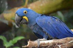 森林里的蓝色小精灵 新发现:两种受胁金刚鹦鹉有助大型种子传播