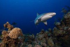 跨58国水下调查:鲨鱼在19%珊瑚礁中功能性灭绝