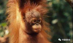 国际红毛猩猩日丨极度濒危物种红毛猩猩的生日
