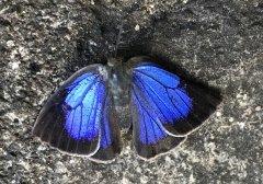 小笠原琉璃灰蝶灭绝?2年内未现踪、恐成首个灭绝日本