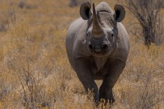 保护黑犀牛 利用足迹识别技术打击非法