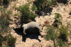 博茨瓦纳数百头大象离奇死亡 查明是蓝