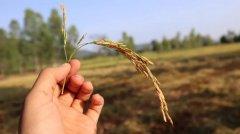 中非合作:水稻新品种有助于应对气候变化!
