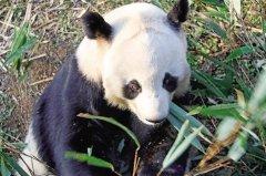 """秦岭大熊猫 国宝中的""""美人""""――和谐"""