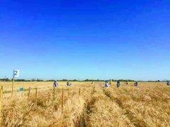 气候变化下小麦育种何去何从 研究揭示小麦基因和环境