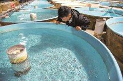 荆州孵化今年首批10万尾中华鲟 活率明