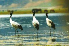 四川若尔盖首次公布黑颈鹤迁徙路线